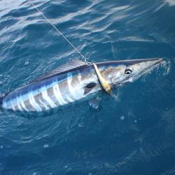 Sportfishing Target Species Jupiter Stuart Palm Beach