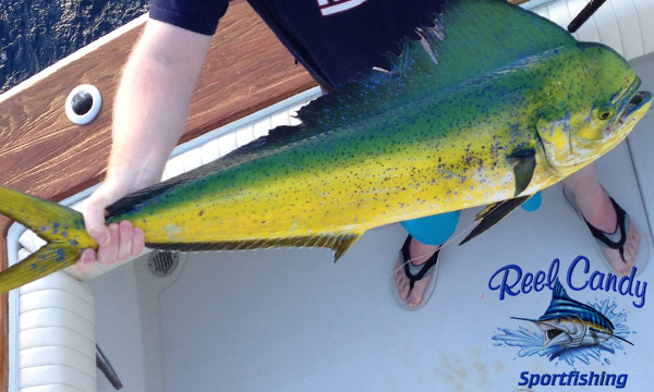 Mahi Caught From Jupiter Inlet Aboard the Reel Candy