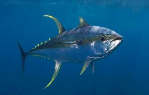 Grand cay the bahamas reel candy sportfishing charters for Does tuna fish have scales