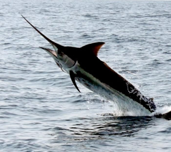 Black Marlin Jupiter, Stuart, Palm Beach, The Bahamas