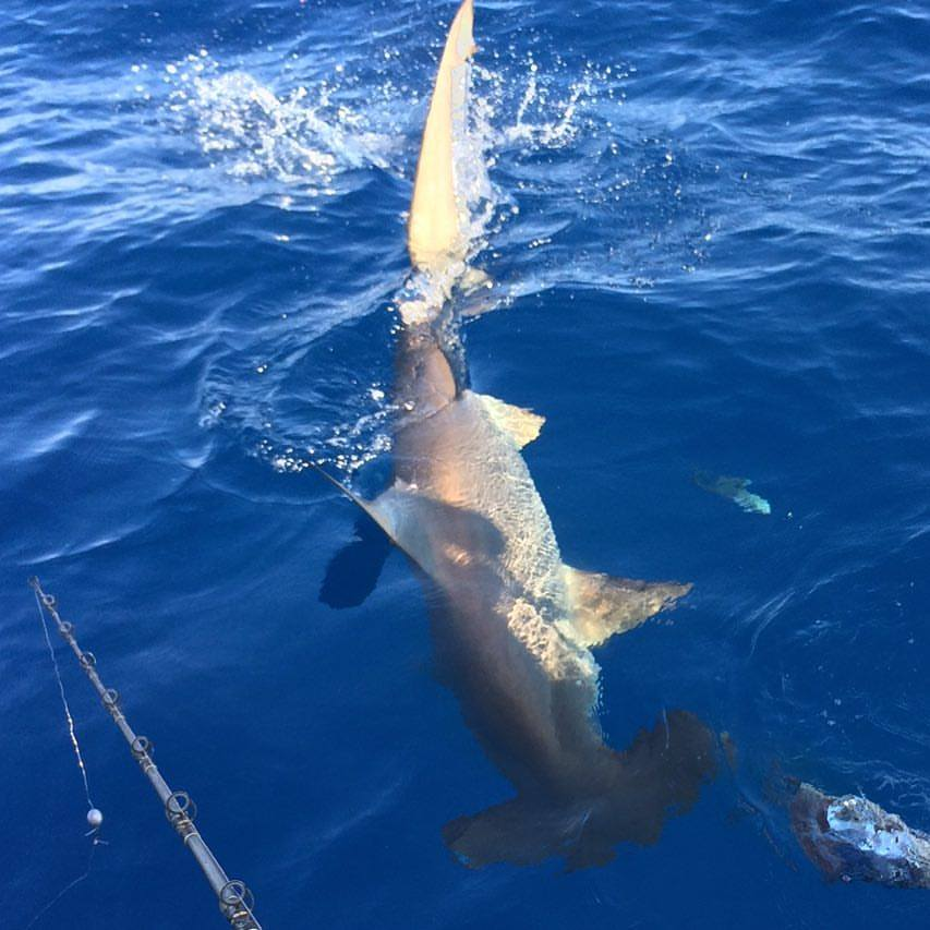 Shark fishing jupiter stuart palm beach florida reel candy shark fishing jupiter stuart and palm beach florida altavistaventures Images